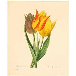 After Pierre-Jospeh Redoute, Floral Print, #141 Tulip de Gesner (Tulip)