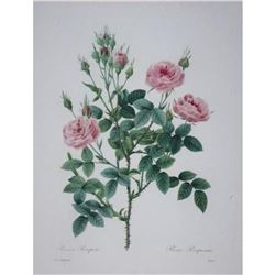 After Pierre-Jospeh Redoute, Floral Print, #133 Rosier Pompon (Rose)