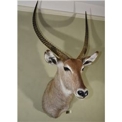 Waterbuck Trophy Mount
