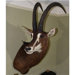Sable Antolope Trophy Mount