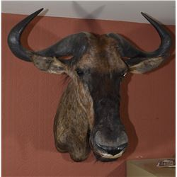 White Tailed Gnu Trophy Mount