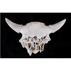 Large Petrified Wild Buffalo Bison Skull Mount