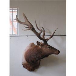 "Shoulder Mount Bull Elk- 12 X 4- Good Mounting Job- 50""W"