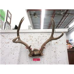 Pair of 17 Inch Wide Deer Antlers