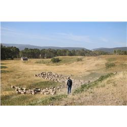 Lot 902 - Montana Sheep Company  - 10 head of Targhee Yearlings