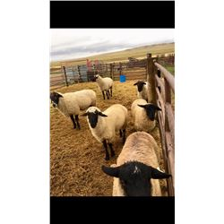 "Lot 915 - Jeanie ""Gigi"" Green  - 5 head of SuffolkXHamp Ewe Lambs"