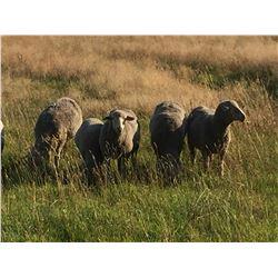 Lot 923 - McKamey Ranch Co  - 20 head of Targhee Yearlings