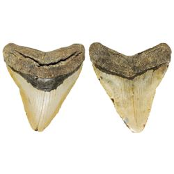 Megalodon (huge shark) tooth, Miocene era (approx. 3.6 to 23 million years old), from near Lee Creek