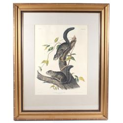 1847 John Audubon Life Size Squirrel Lithograph