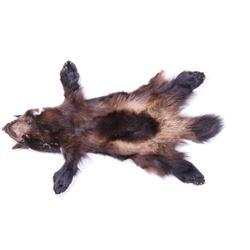 Montana Wolverine Taxidermy Hide