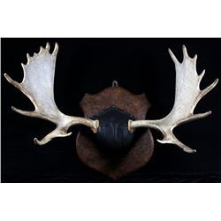 Montana Moose Antler Trophy Wall Mount