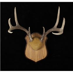 4 X 4 Trophy White Tail Antler Wall Mount