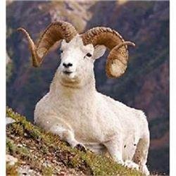 Governor's Tag-Tok Dall Sheep (SS101).