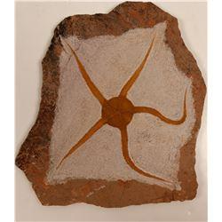 Fossil Brittle Star - Display Slab 9x9-inch  108637