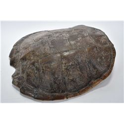 """A 15 1/2"""" genuine snapping turtle shell"""