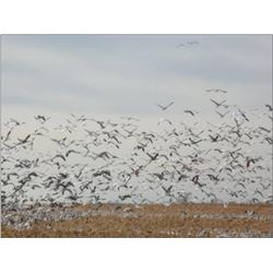 South Dakota Snow Goose Hunt