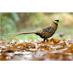2-days/2 nights France Reeve's Pheasant and Mallard Duck Hunt for 10 Shooters