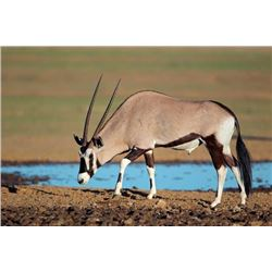 6-day New Mexico Gemsbok (Oryx) Hunt for One Hunter