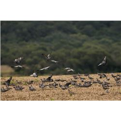 4-day Argentina High-Volume Dove Hunt and Dorado Fishing Trip for Six Hunters