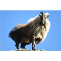 6-day New Zealand Tahr Hunt for Two Hunters
