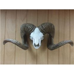 High Altai Argali Replica Horns