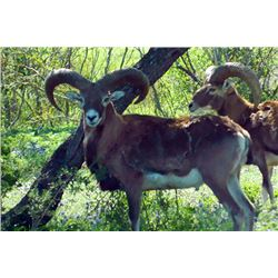 4-day Texas Armenian Mouflon, Aoudad and Iranian Red Sheep Hunt for Two Hunters