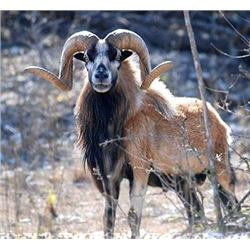 3-day Texas Corsican Sheep and Dove Hunting for Two Hunters