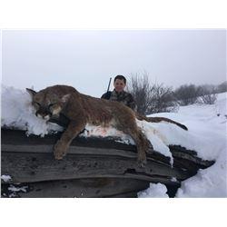 5 Day Mountain Lion Hunt Colorado #1