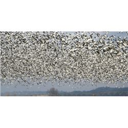1-Day/1-Night Missouri Guided Snow Goose Hunt for 4 Hunters