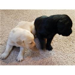 3-Month Old Male Labrador Puppy with AKC Registration