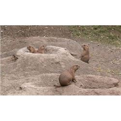 2-Day/3-Night Nebraska Prairie Dog Hunt for 2 Hunters