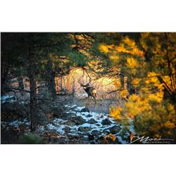 "Framed 26""x40"" Canvas Photo  - ""Spotlight Muley"""