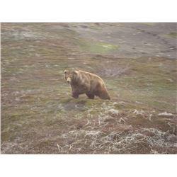 2020 Alaska Unimak Island Brown Bear Drawing Permit for One (1) Hunter