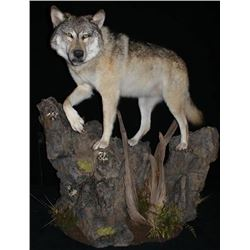 CUSTOM LIFE SIZE WOLF MOUNT By Legends Taxidermy