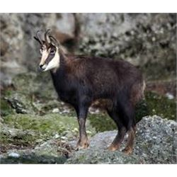 5 Day Chamois Hunt for One Hunter