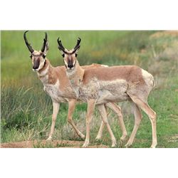 4 Day Archery or Muzzleloader Antelope for One Hunter