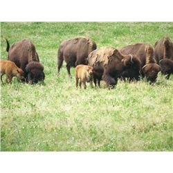 2 Year Old Bison Buffalo Bull for One Hunter
