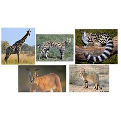 10 Day Hunt for Giraffe, Genet, Serval, Caracal, and African Wild Cat for One Hunter