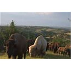 2 day cow elk or bison meat hunt for 1 hunter and 1 observer at Comstock Lodge