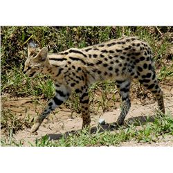 10 Day South African Serval Hunt Donated by Joubert Pro Hunt