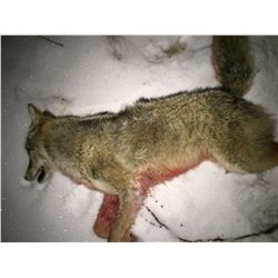 1 Day or Night MN Predator Hunt for 1-2 Hunters
