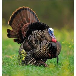 Kansas: 2 Day 2 Night Eastern Wild Turkey Hunt for 2 Hunters / Includes 1 Turkey Per Hunter