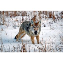 *Kansas – 4-Day - Coyote Hunt for Four Hunters