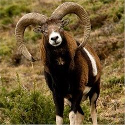 *Spain – 4 Day – Spanish Mouflon Sheep Hunt for One Hunter