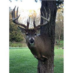Deer Shoulder Mount: