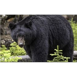 Five-Day Montana Bear and Turkey Hunt for Two