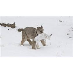 Lynx Hunt with Hounds in British Columbia