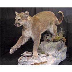 SHOULDER MOUNT FOR DEER SIZE ANIMAL