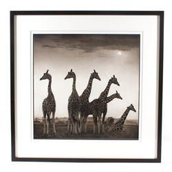 Nick Brandt Giraffe Fan Limited Edition Ink Print