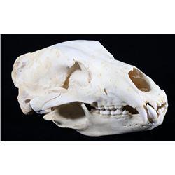 Trophy Alaskan Kodiak Brown Bear Skull